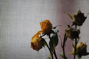 rose-676760_1920